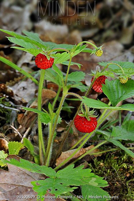Woodland strawberry, Wild strawberries (Fragaria vesca) La Brenne, France  -  Philippe Clement/ npl