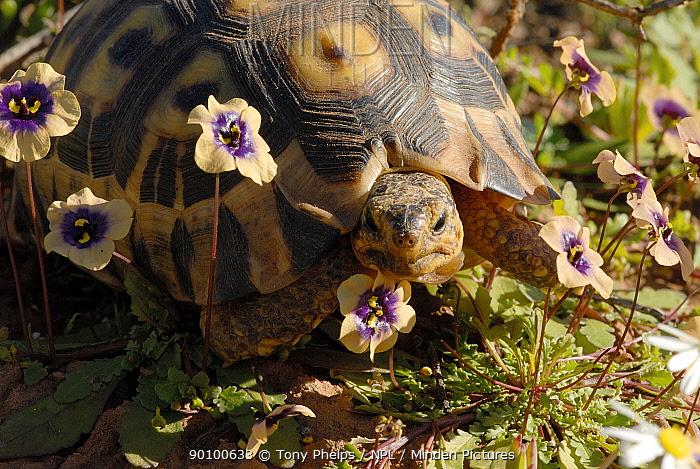 Angulate tortoise (Chersina angulata) Adult female amongst flowers, Little Karoo, South Africa  -  Tony Phelps/ npl