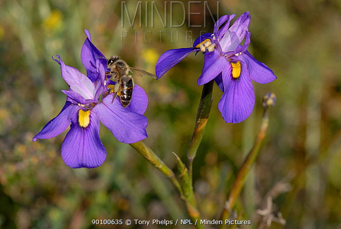 Fleur-de-Lys (Moraea tripetala) flowers, Little karoo, Western Cape, South Africa  -  Tony Phelps/ npl