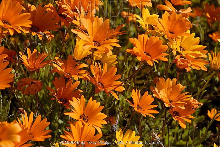 Daisies (Gazania sp) in flower, Little karoo, Western Cape, South Africa  -  Tony Phelps/ npl