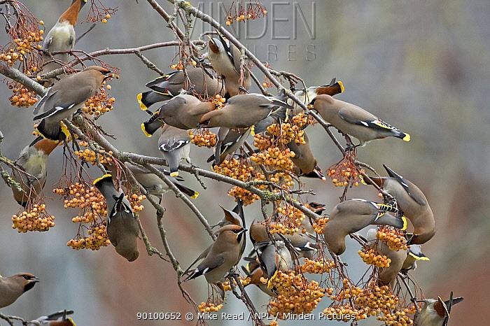 Bohemian waxwings (Bombycilla garrulus) feeding on Rowan berries, Canford Heath, Dorset, England, January  -  Mike Read/ npl