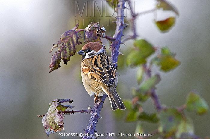 Eurasian tree sparrow (Passer montanus) perched on bramble near Sutton, Cambridgeshire, England, February  -  Mike Read/ npl