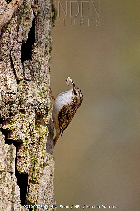 Eurasian treecreeper (Certhia familiaris) taking nesting material to nest site behind the bark of an English, Pendunculate oak (Quercus robur) tree, Hampshire, England, March  -  Mike Read/ npl