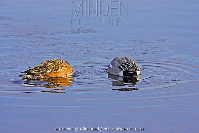 Eurasian wigeon (Anas penelope) pair feeding in shallow water, Catcott Lows, Somerset, England, February  -  Mike Read/ npl