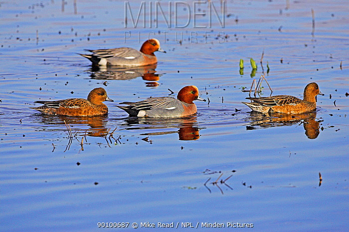 Eurasian wigeon (Anas penelope) two males and two females on shallow water, Catcott Lows, Somerset, England, February  -  Mike Read/ npl
