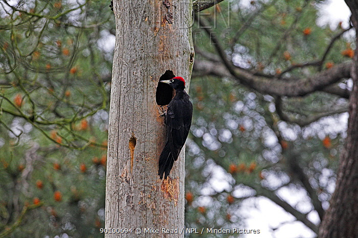 Black woodpecker (Dryocopus martius) male at nest to feed young, near Selles-sur-Loire, Centre Region, France, May  -  Mike Read/ npl