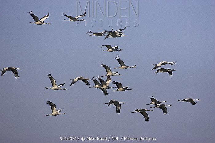Common crane (Grus grus) group in flight, Hortobagy National Park, Hungary, November  -  Mike Read/ npl