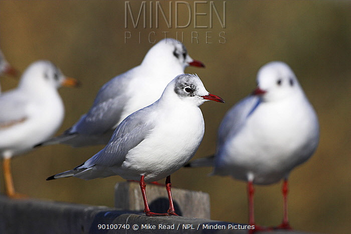 Black-headed gull (Larus ridibundus) group on bridge handrail, Weymouth, Dorset, England, February  -  Mike Read/ npl