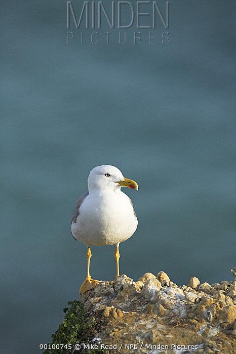Yellow-legged gull (Larus michahellis) on cliff top, Armacao de Pera, Algarve, Portugal, March  -  Mike Read/ npl