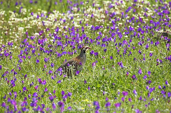 Red-legged partridge (Alectoris rufa) amongst flowering Purple vipers bugloss (Echium plantagineum) Alentejo region, Portugal, March  -  Mike Read/ npl