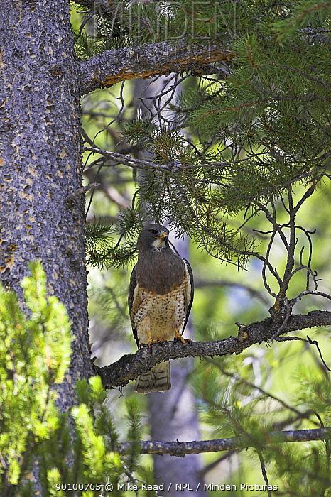 Swainson's hawk (Buteo swainsoni) on branch, West Yellowstone, USA, June  -  Mike Read/ npl