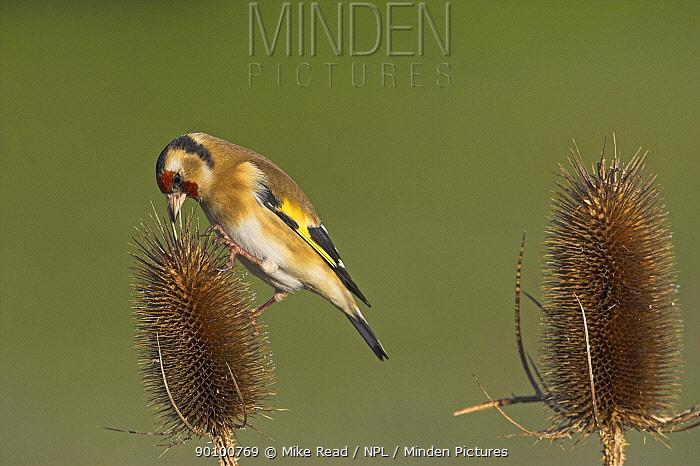 European goldfinch (Carduelis carduelis) feeding on Teasel (Dipsacus fullonum) in garden, winter, Ringwood, Hampshire, England, January  -  Mike Read/ npl