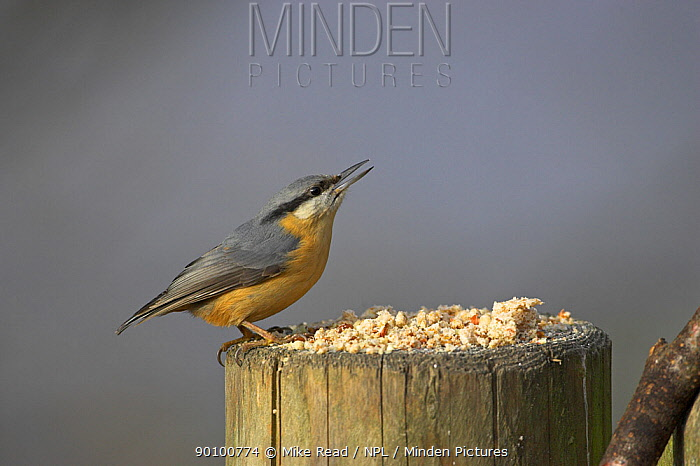 Eurasian nuthatch (Sitta europaea) collecting food from gate post, New Forest National Park, Hampshire, UK, January  -  Mike Read/ npl