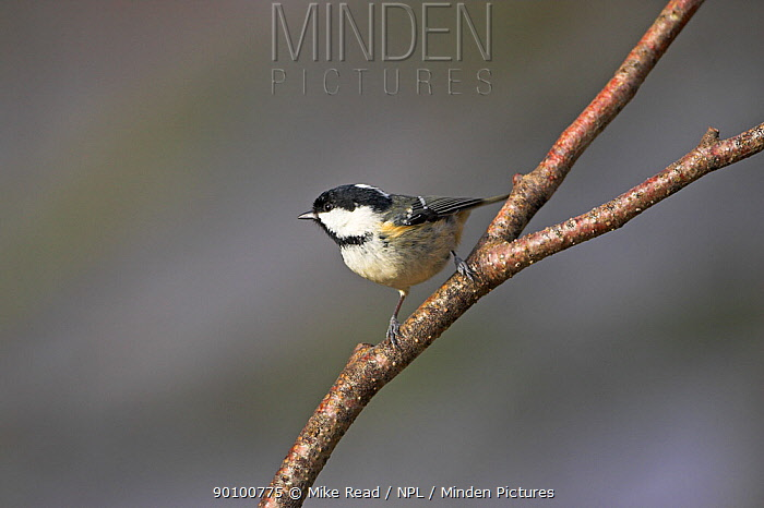 Coal tit (Parus ater) perched, New Forest National Park, Hampshire, UK, January  -  Mike Read/ npl