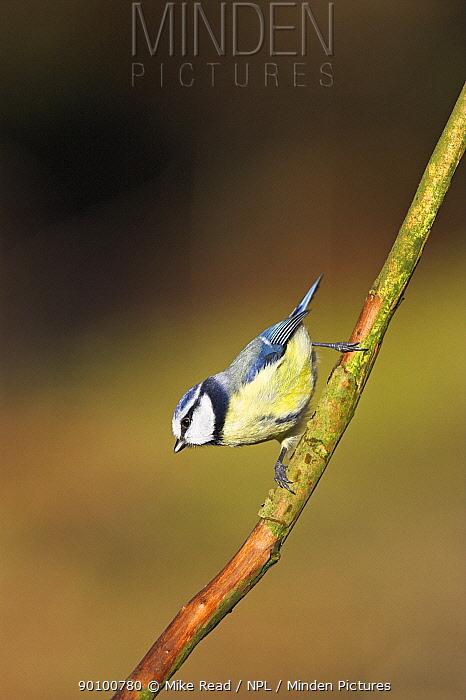 Blue tit (Parus caeruleus) perched, New Forest National Park, Hampshire, UK, January  -  Mike Read/ npl