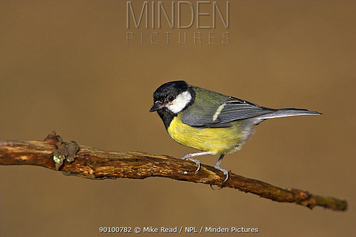 Great tit (Parus major) perched, New Forest National Park, Hampshire, UK, January  -  Mike Read/ npl