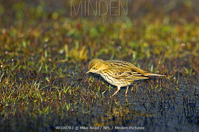 Meadow pipit (Anthus pratensis) on ground, New Forest National Park, Hampshire, UK, January  -  Mike Read/ npl