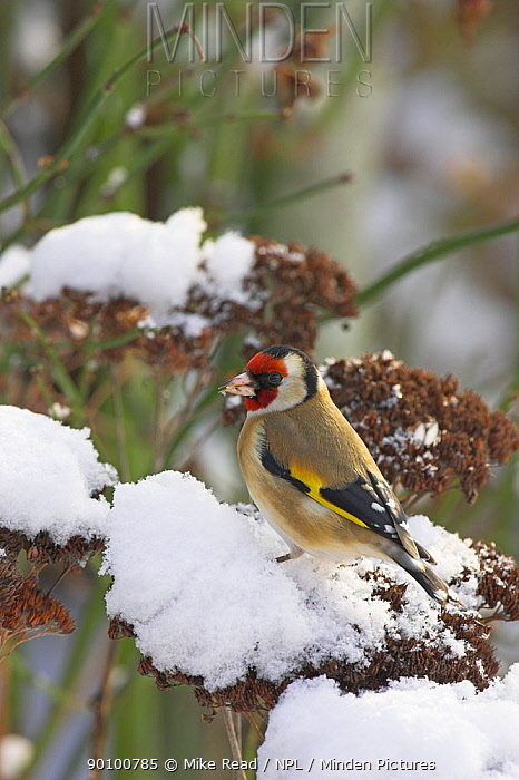 European goldfinch (Carduelis carduelis) in snowy garden setting, Hampshire, UK, February  -  Mike Read/ npl