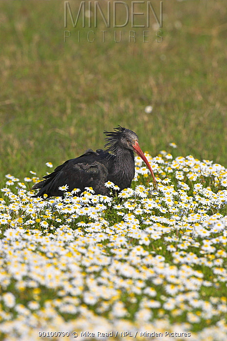 Northern bald, Hermit ibis (Geronticus eremita) ringed individual, Pera Marsh, Algarve, Portugal, Critically endangered species, re-introduced to Portugal, February  -  Mike Read/ npl