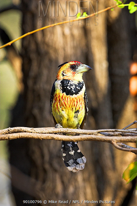 Crested, Levaillant's barbet (Trachyphonus vaillantii) perched in tree, Kruger National Park, South Africa  -  Mike Read/ npl