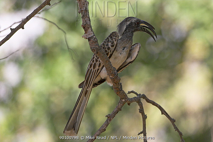 African grey hornbill (Tockus nasutus) perched, Kruger NP, South Africa  -  Mike Read/ npl