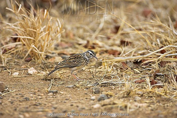 Sabota lark (Mirafra sabota) Kruger National Park, South Africa, October  -  Mike Read/ npl