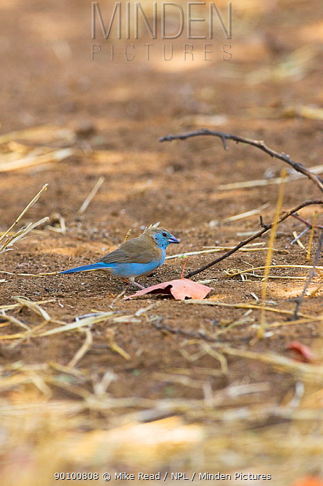 Blue waxbill (Uraeginthus angolensis) male on ground, Kruger National Park, South Africa, October  -  Mike Read/ npl