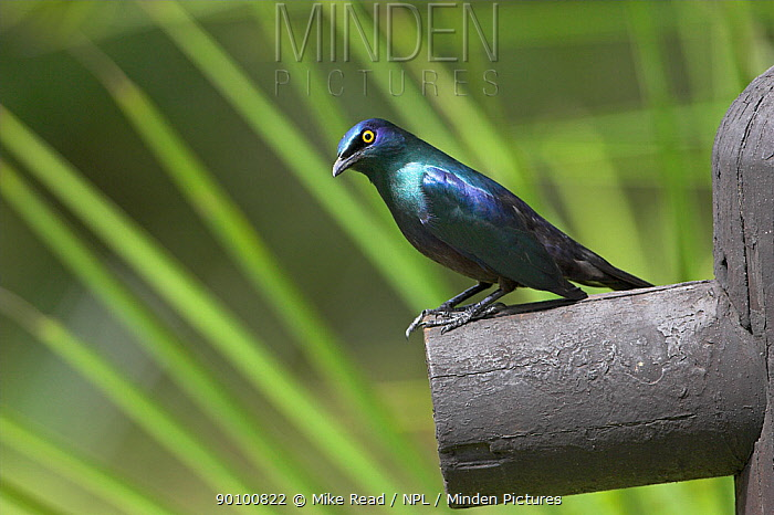 Black-bellied starling (Lamprotornis corruscus) perched, St Lucia Wetland Park, South Africa, November  -  Mike Read/ npl