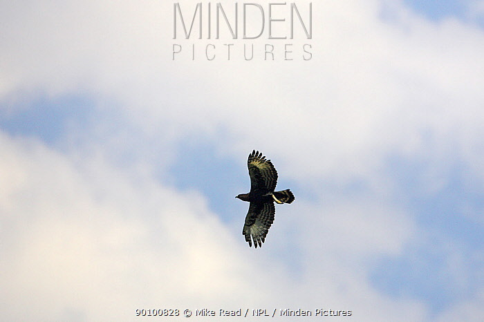 Long-crested eagle (Lophaetus occipitalis) in flight, near Misty Mountain Lodge, South Africa, November  -  Mike Read/ npl