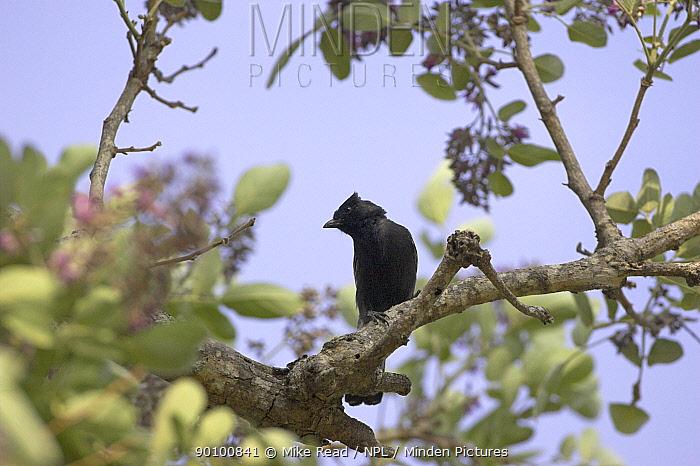 Southern black tit (Parus, Melaniparus niger) perched, Kruger National Park, South Africa, November  -  Mike Read/ npl