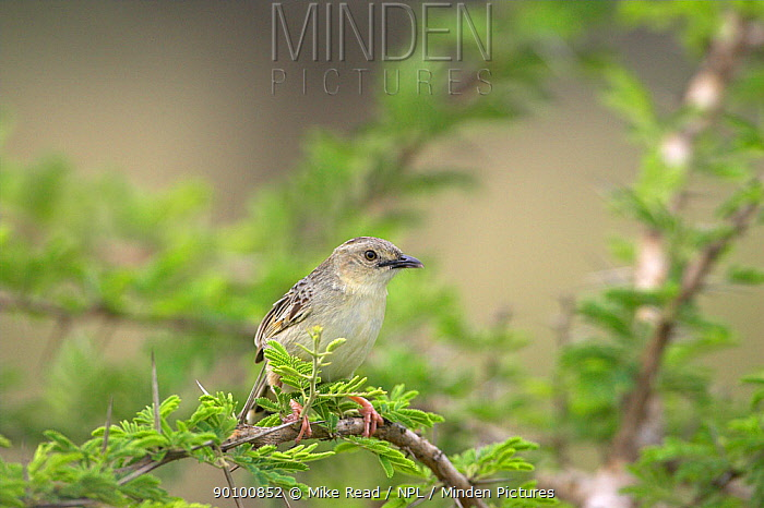 Croaking cisticola (Cisticola natalensis) perched in acacia tree, Hluhluwe, South Africa, November  -  Mike Read/ npl