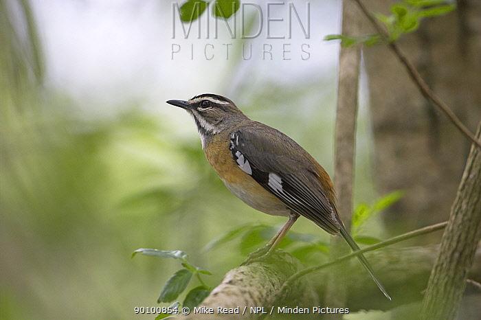 Bearded scrub-robin (Cercotrichas, Erythropygia quadrivirgata) perched, Hluhluwe, South Africa, November  -  Mike Read/ npl
