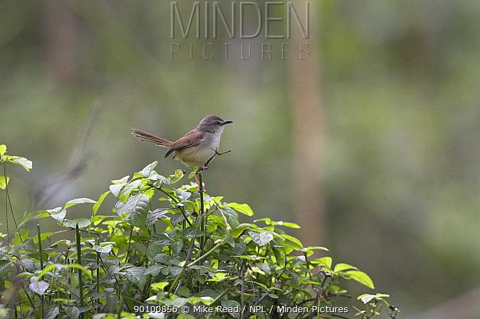 Tawny-flanked prinia (Prinia sublava) perched, St Lucia Wetland Park, South Africa, November  -  Mike Read/ npl