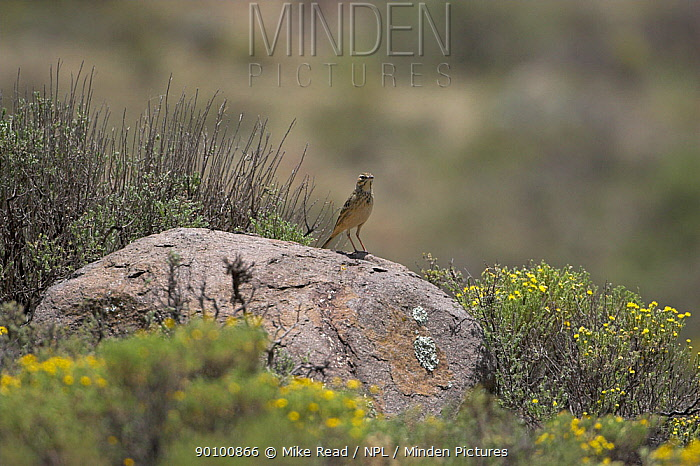 Mountain pipit (Anthus hoeschi) perched on rock, Lesotho, November  -  Mike Read/ npl