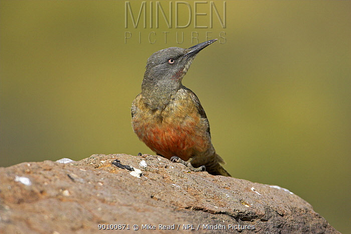 Ground woodpecker (Geocolaptes olivaceus) perched on rock, Lesotho, November  -  Mike Read/ npl