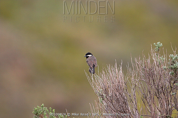 Grey tit (Parus, Melaniparus afer) perched on scrub, Lesotho, November  -  Mike Read/ npl