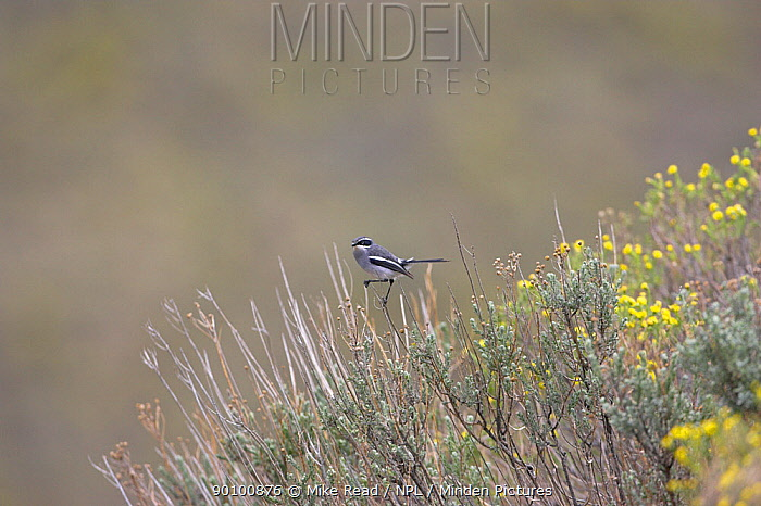 Fairy flycatcher (Stenostira scita) perched on scrub, Lesotho, November  -  Mike Read/ npl