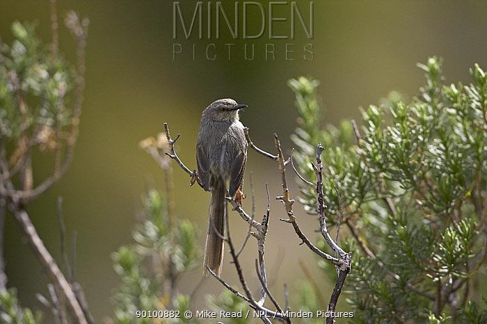 Karoo, Spotted prinia (Prinia maculosa) perched in scrub, Lesotho, November  -  Mike Read/ npl