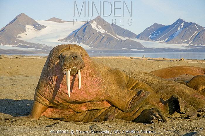 Walrus (Odobenus rosmarus) bull resting on a sandspit, Svalbard, Norway, August 2009  -  Steven Kazlowski/ npl