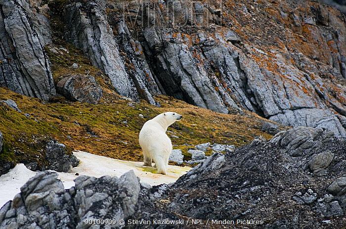 Polar bear (Ursus maritimus) walking along the coast, Svalbard, Norway  -  Steven Kazlowski/ npl