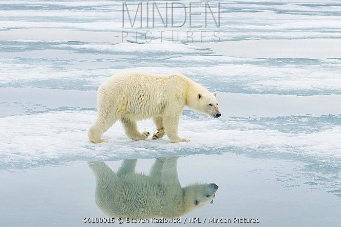 Polar bear (Ursus maritimus) sow hunting for seals on sea ice floating off the Svalbard coast, Norway, Summer  -  Steven Kazlowski/ npl