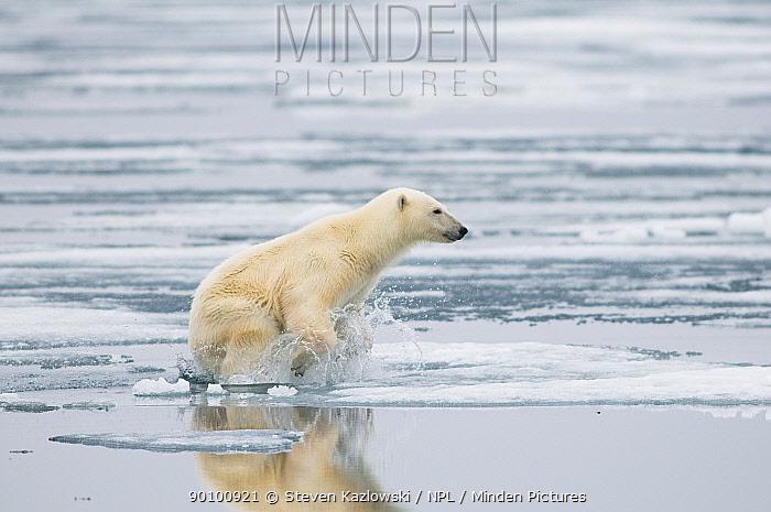 Polar bear (Ursus maritimus) sow on sea ice hunting for seals, off the coast of Svalbard, Norway  -  Steven Kazlowski/ npl