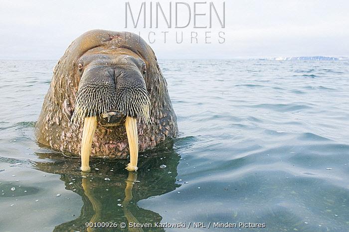 Walrus (Odobenus rosmarus) bull in water, Svalbard, Norway  -  Steven Kazlowski/ npl