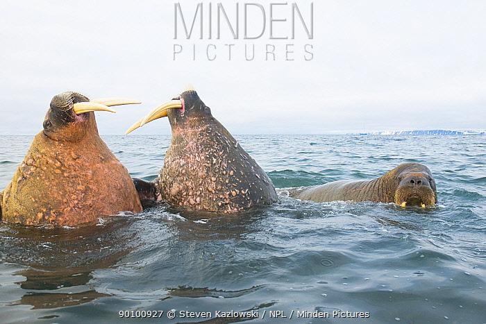 Three Walruses (Odobenus rosmarus) in sea, two bulls sparring with one another, Svalbard, Norway  -  Steven Kazlowski/ npl
