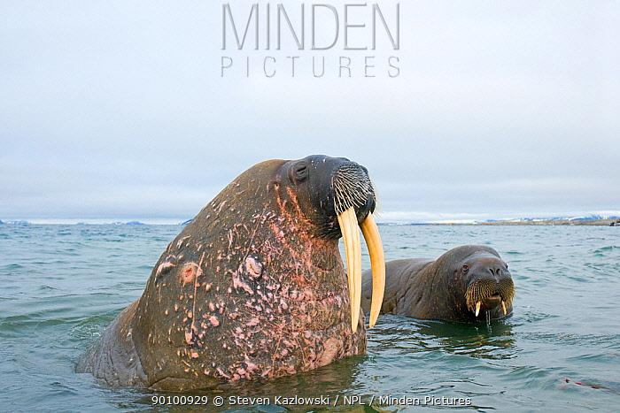 Walrus (Odobenus rosmarus) curious bulls one older and one younger in waters along the coast of Svalbard, Norway  -  Steven Kazlowski/ npl