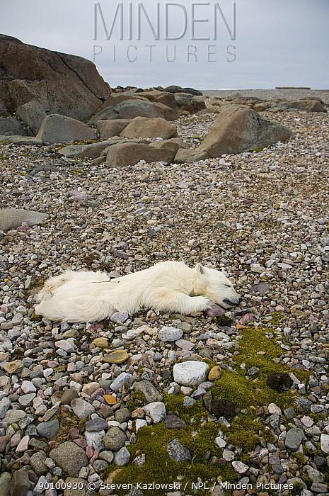 Dead spring Polar bear (Ursus maritimus) cub, probably died due to starvation, found on the coast of Svalbard, Norway, Summer  -  Steven Kazlowski/ npl