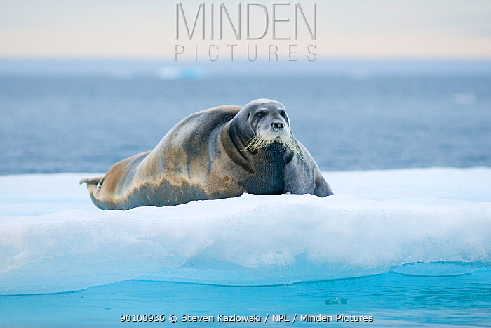 Bearded seal (Erignathus barbatus) resting on sea ice, Svalbard, Norway  -  Steven Kazlowski/ npl