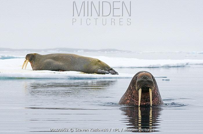 Two Walruses (Odobenus rosmarus) one on ice floe, the other in water, Svalbard, Norway  -  Steven Kazlowski/ npl