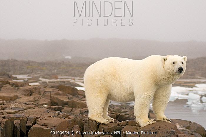 Polar bear (Ursus maritimus) boar on coastal rocks, Svalbard, Norway  -  Steven Kazlowski/ npl
