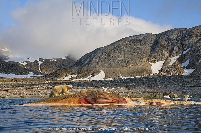 Polar bear (Ursus maritimus) scavenging carcass of a Fin whale (Balaenoptera physalus) Svalbard, Norway, August 2009  -  Steven Kazlowski/ npl